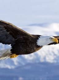 eagle-flying-drawing-wallpaper-4